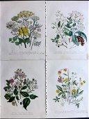 Loudon, Mrs Jane 1849 Lot 4 Hand Col Botanical Prints