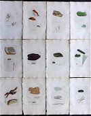 Sowerby, James C1840 Lot of 12 Hand Col Seaweed Prints