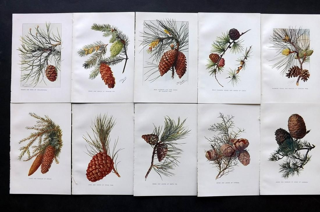 Boulger, George 1907 Lot of 10 Pine Cone Prints