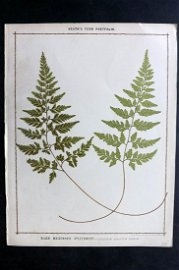 Heath, Francis 1885 Large Fern Print. Black Maidenhair
