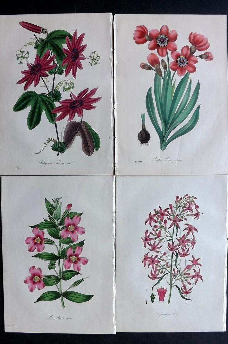 Paxton, Joseph 1834 Lot of 4 HCol Botanical Prints