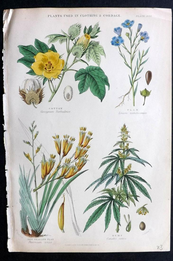 Rhind, William 1868 Hand Col Print. Cannabis Hemp etc