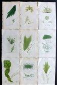 Sowerby, James 1846 Lot of 9 HCol Green Seaweed Prints
