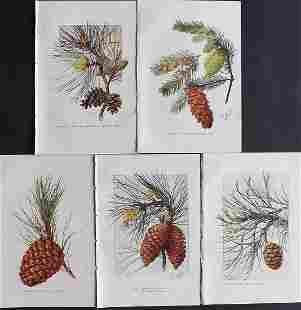 Boulger, George 1888 Lot of 5 Botanicals. Pine Cones