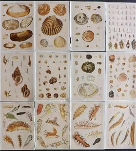 Gordon, W. J. C1900 Lot of 12 Antique Shell etc Prints
