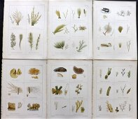 Gatty, Mrs Alfred 1863 Lot of 6 Antique Seaweed Prints