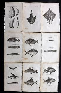 Pennant, Thomas 1812 Lot of 9 Antique Fish Prints
