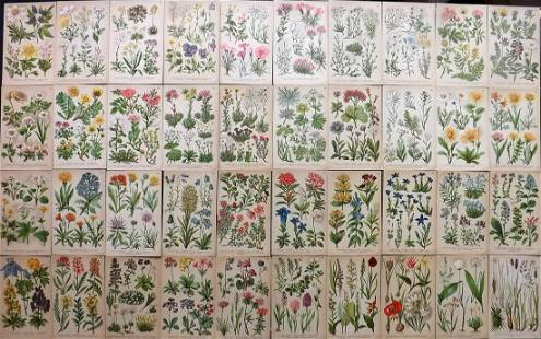 Hoffmann, Julius 1927 Lot of 40 Alpine Botanical Prints