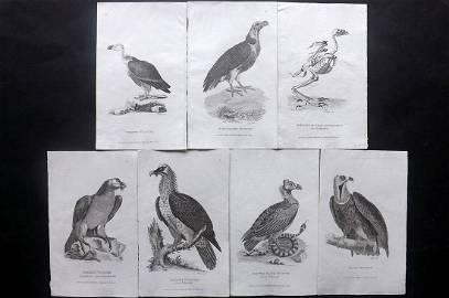 Shaw, George C1808 Lot of 7 Birds of Prey Prints