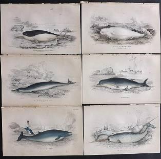 Jardine, William C1840 Lot 6 HC Prints. Narwhal Beluga