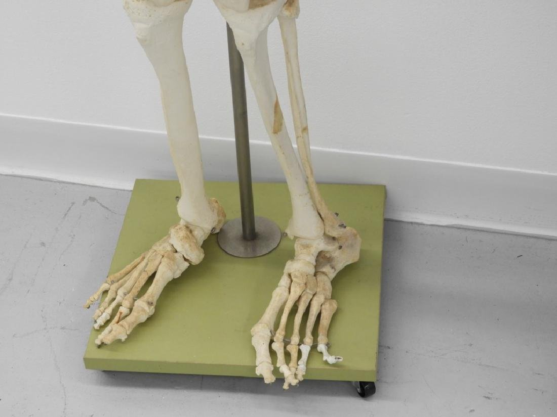 American Medical School Practice Faux Skeleton - 5