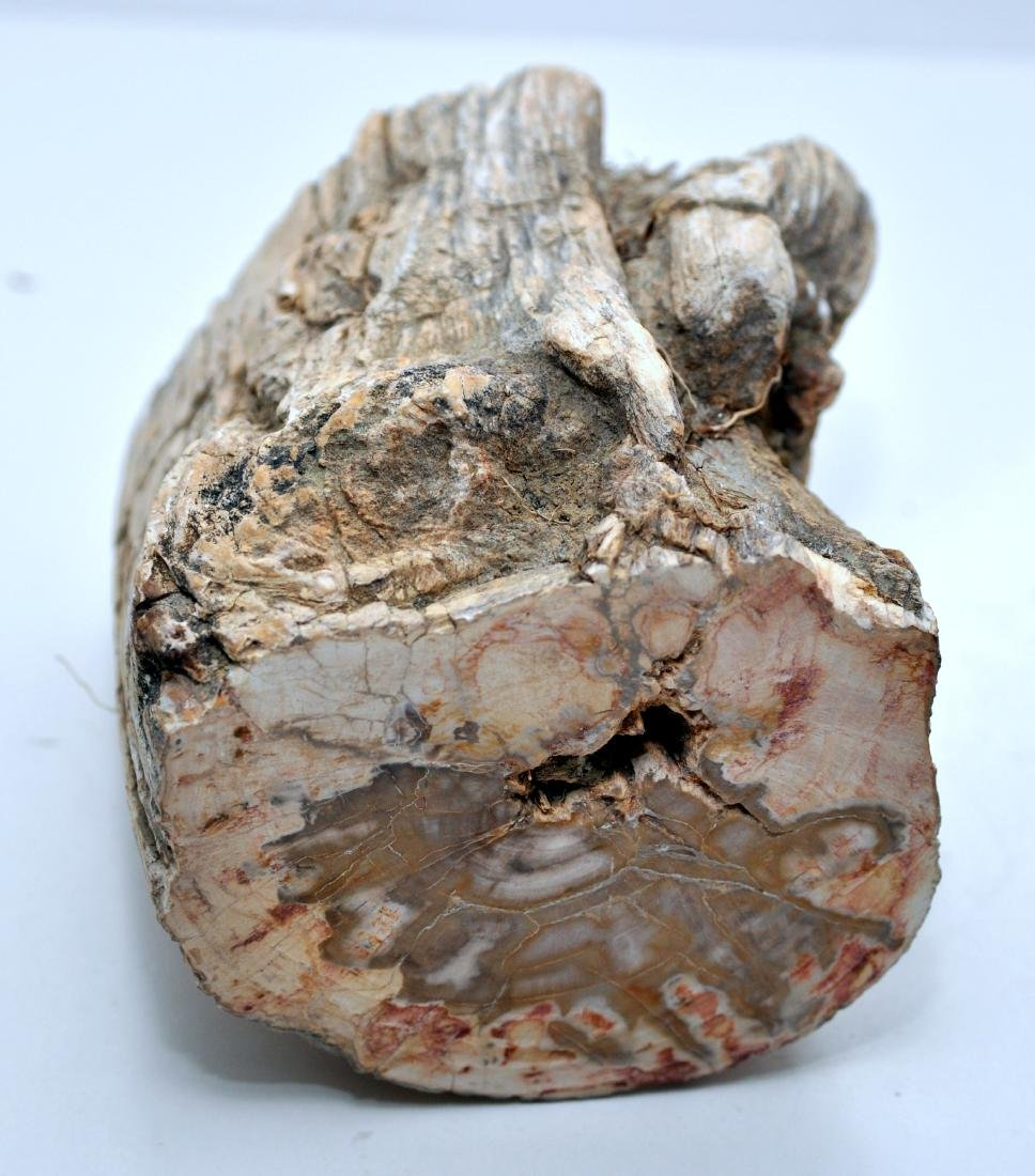 Petrified wood branch mineralized - 3
