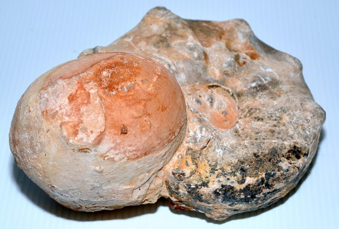 Ammonite specimen fossil attached sphere