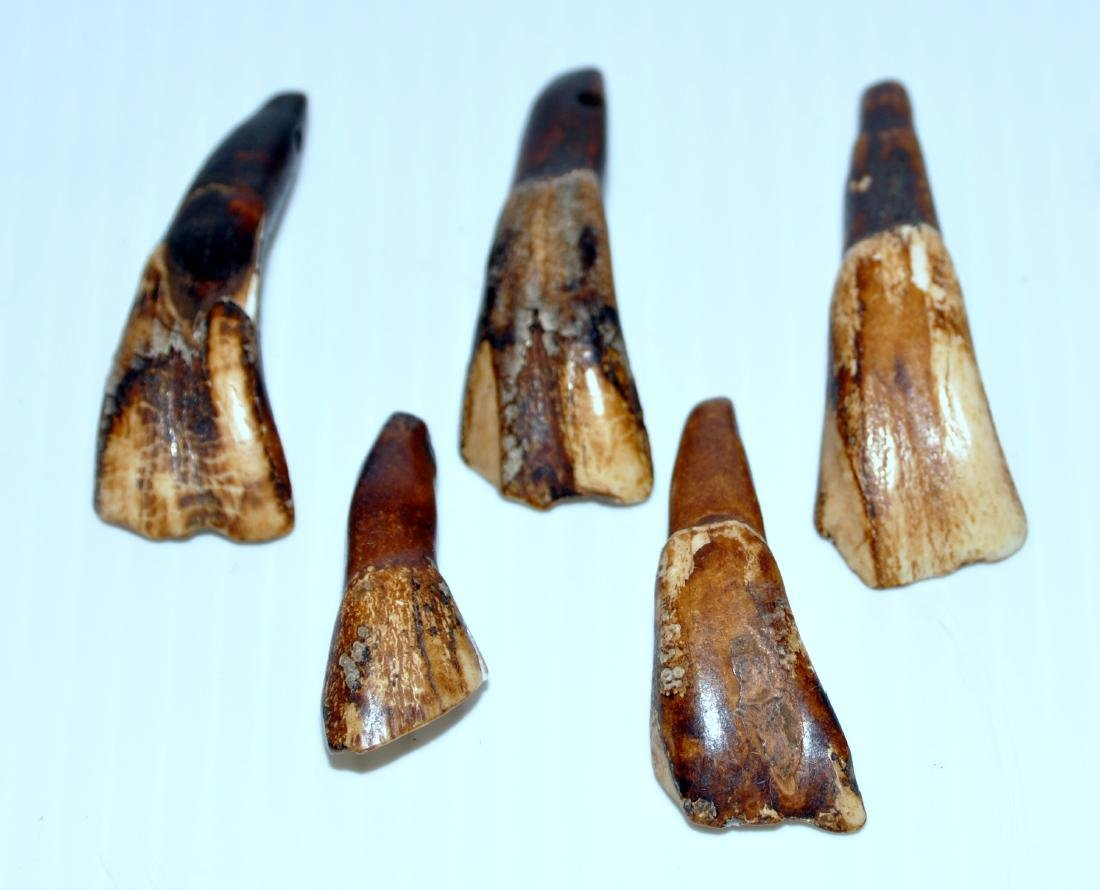 Buffalo teeth prehistoric specimens