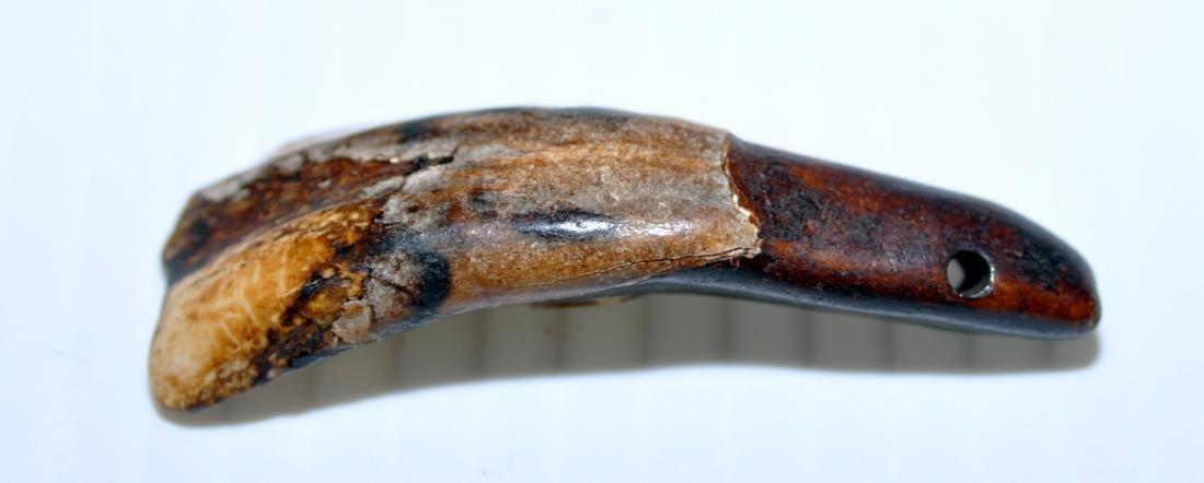 Buffalo teeth prehistoric specimens - 2