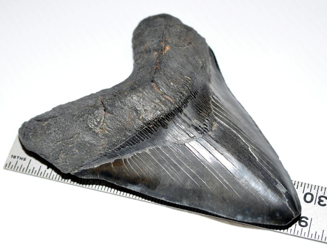 Shark megaladon tooth 6 inch approx diagonal - 6