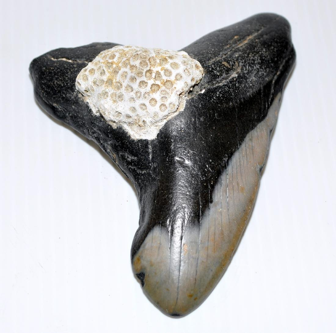 Megaladon sharks tooth coral attached