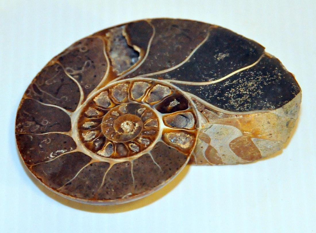 Ammonite polished specimen sliced