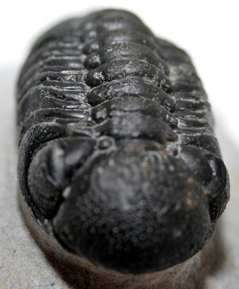 Morroccan trilobite compound eyes - 3