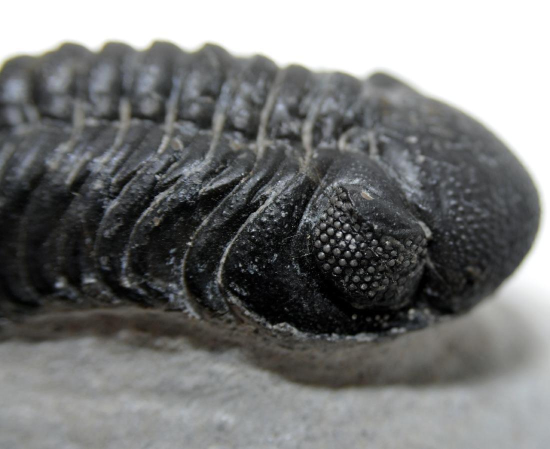 Morroccan trilobite compound eyes - 4