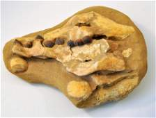 Dinosaur globodont jaw teeth