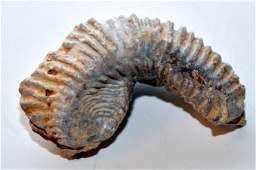 Fossil clam mollusk specimen