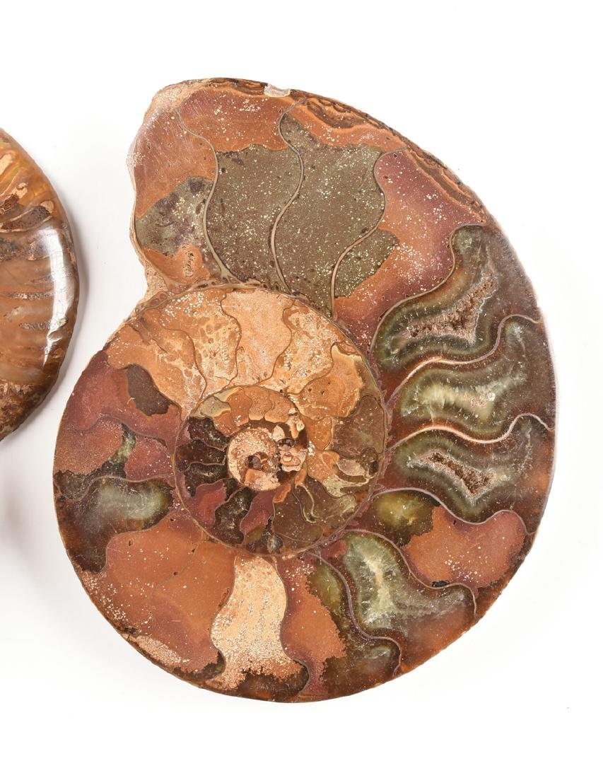 A GROUP OF THREE GRADUATED BISECTED POLISHED AMMONITE - 12