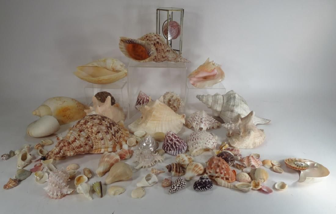Large Collection of Sea Shell & Sea Urchin Display
