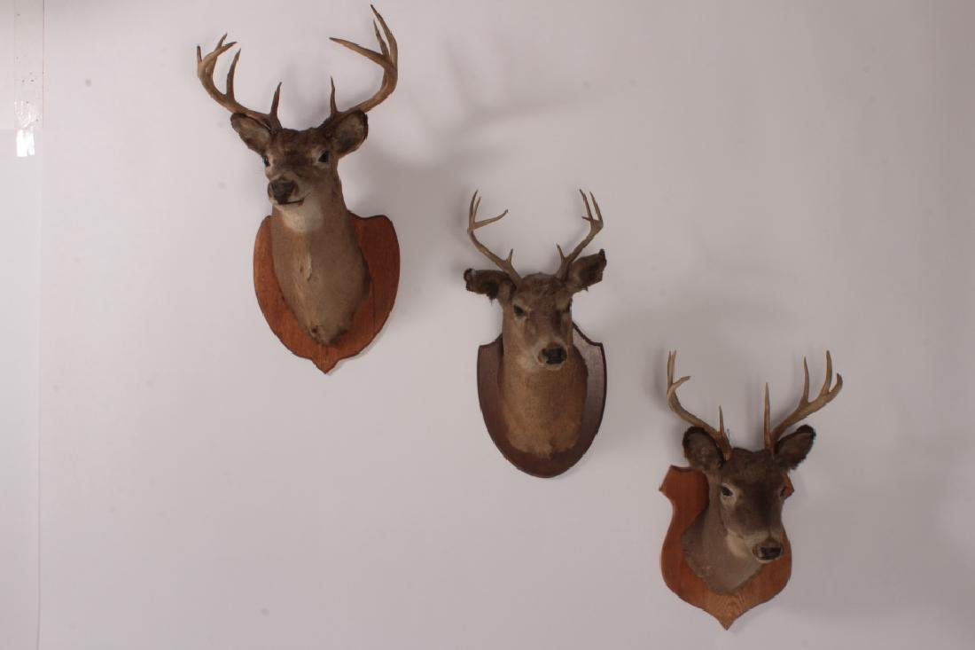3 Taxidermy Deer Heads,20th C,on wood mounts