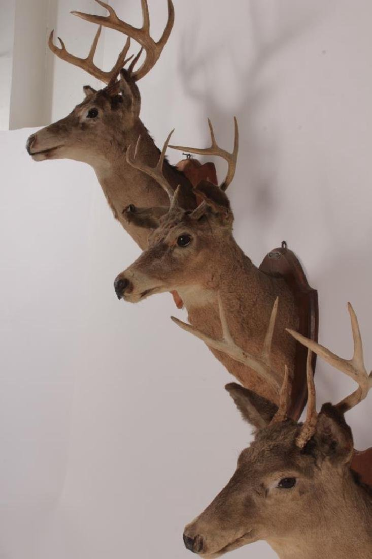 3 Taxidermy Deer Heads,20th C,on wood mounts - 6