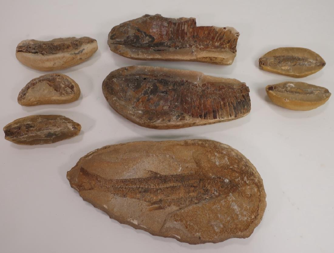 6  Fish Fossils in Matrix
