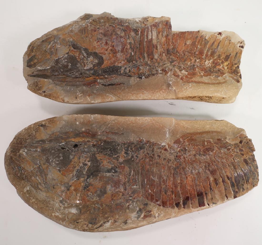 6  Fish Fossils in Matrix - 2