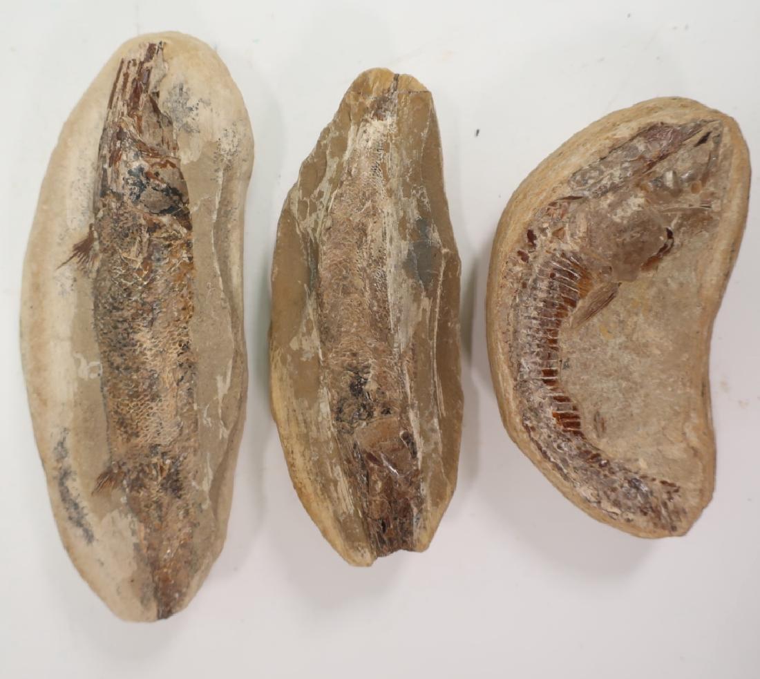 6  Fish Fossils in Matrix - 3