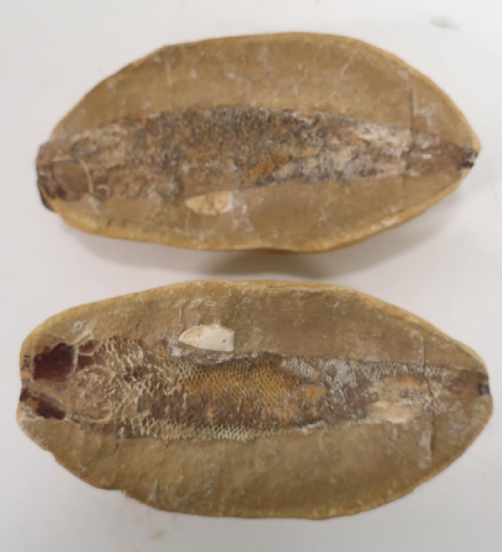 6  Fish Fossils in Matrix - 6