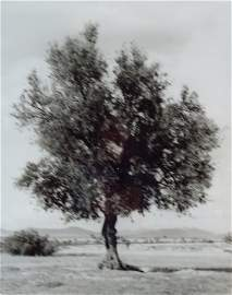 "Mikael Jansson, Olivetree, Morocco, 1994"""