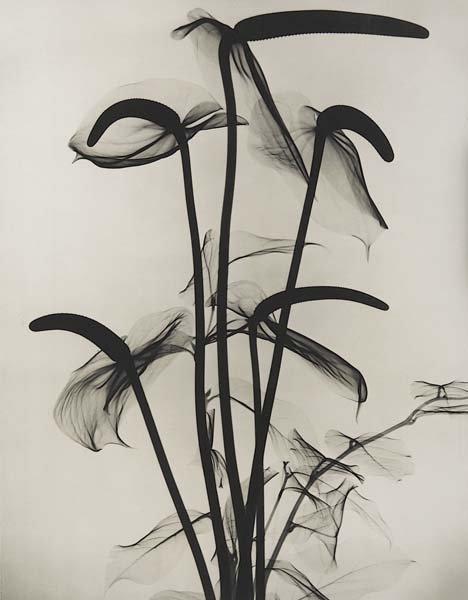 315: DR. DAIN L. TASKER, 1872-1964 X-Ray of Anthuriums,