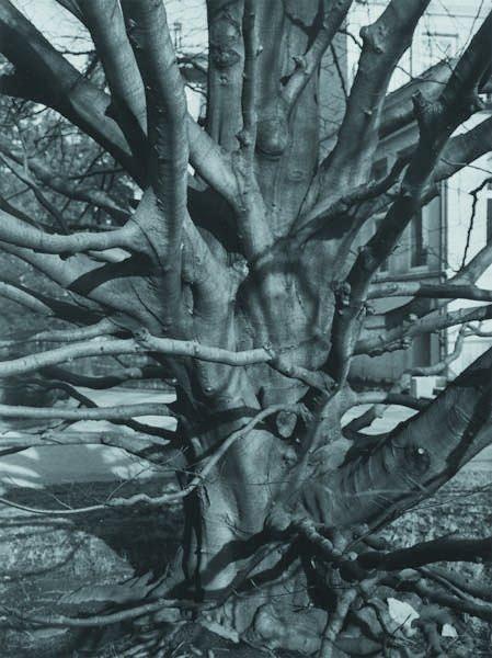 115: ALBERT RENGER-PATZSCH, 1897-1966 Beech tree, 1928