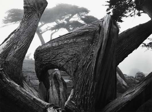 1021: ANSEL ADAMS, 1902-1984 Cypress Tree in Fog, Pebbl