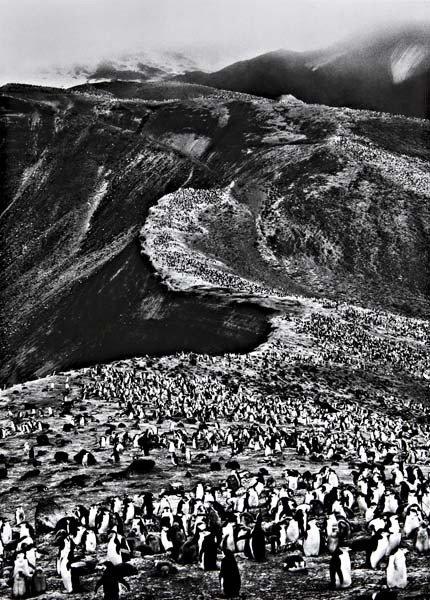 177: SEBASTIÃO SALGADO Chinstrap Penguins (Pygoscelis A