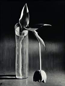 69: ANDRÉ KERTÉSZ, Melancholic Tulip, 1939