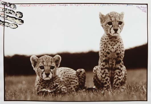 PETER BEARD, Cheetah cubs orphaned at Mweiga nr. Nyeri