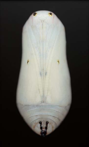 ADAM FUSS, Untitled (White Chrysalis), 2003