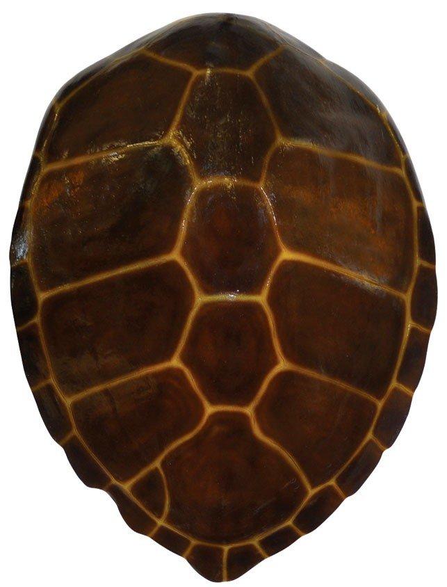 Sea Turtle shell, large wall mount fiberglass replica t Sea Turtle Shell
