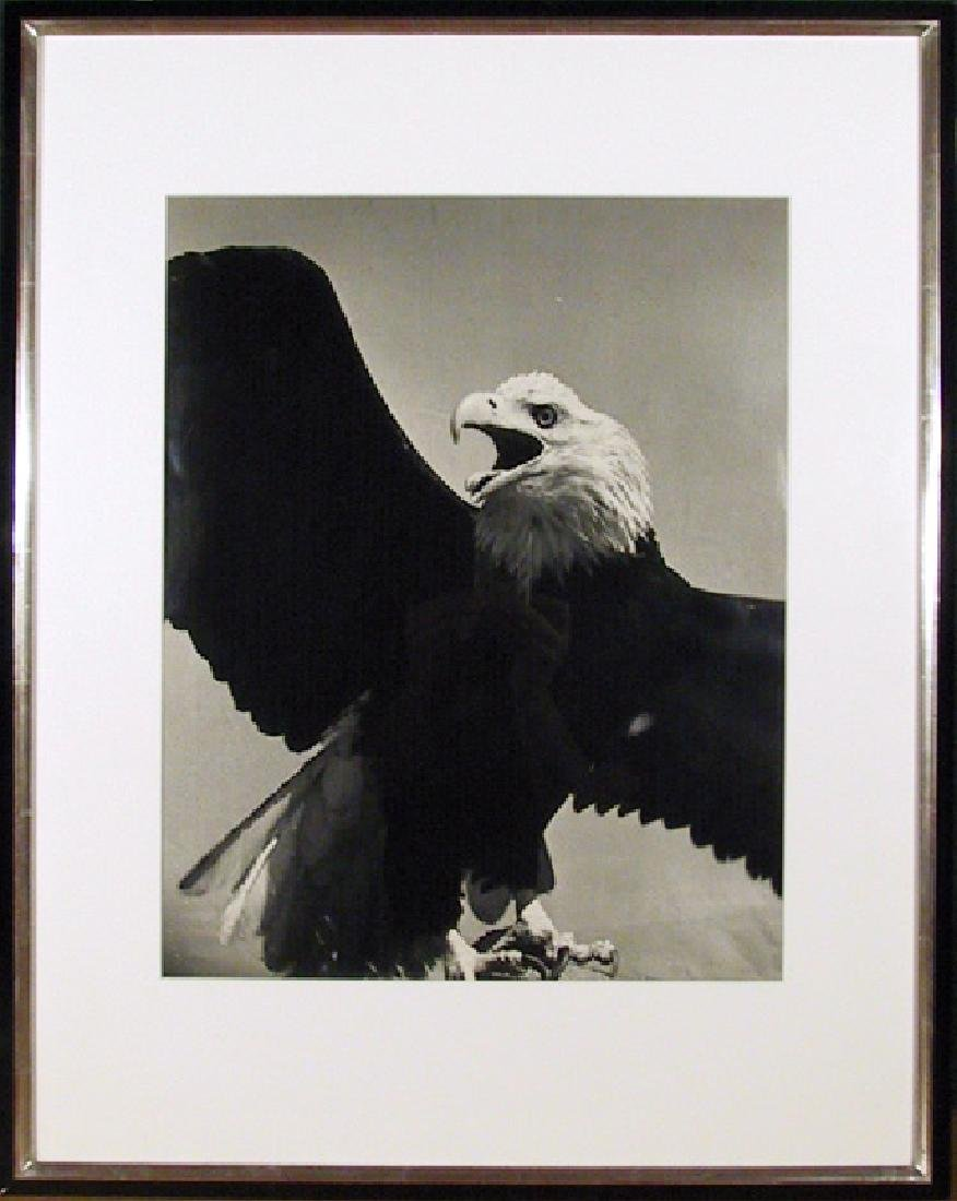 Will Connell, American Bald Eagle, Gelatin Silver Print