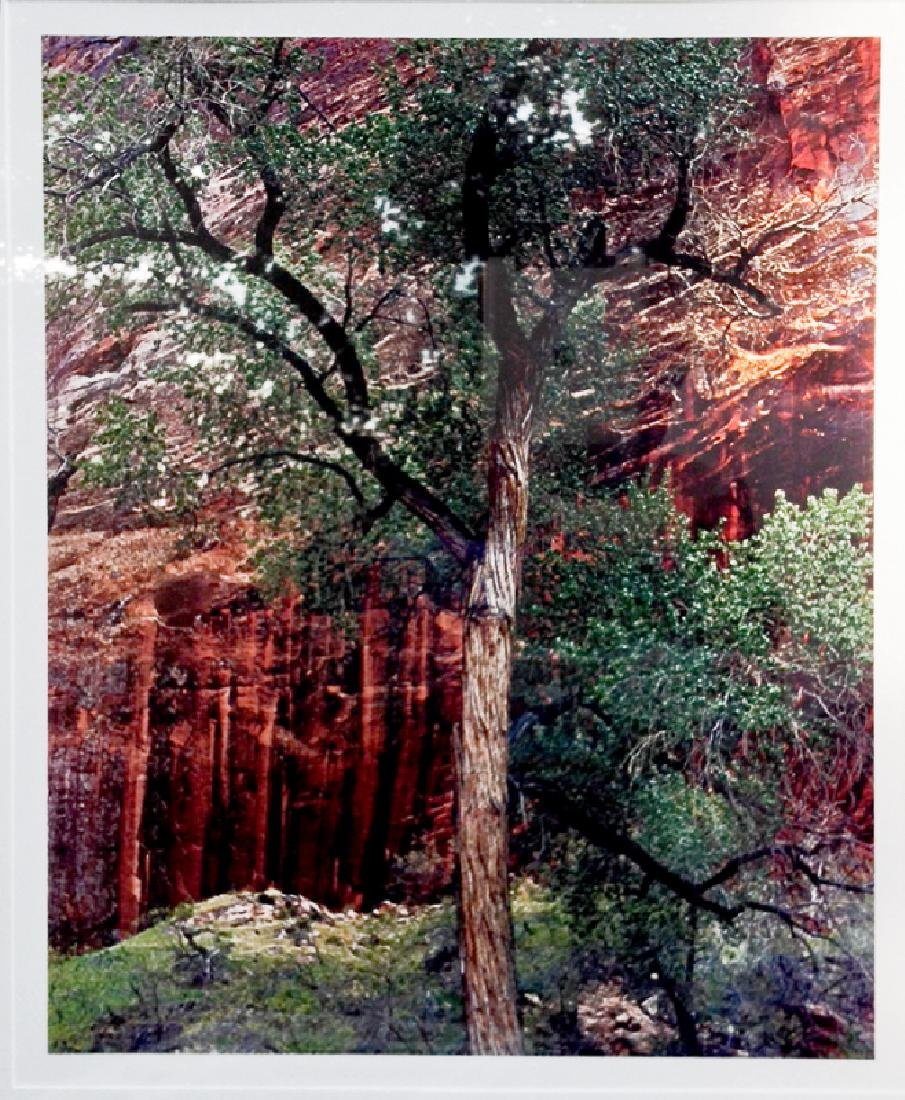 Eliot Porter, Old Cottonwood Tree, Color Photograph