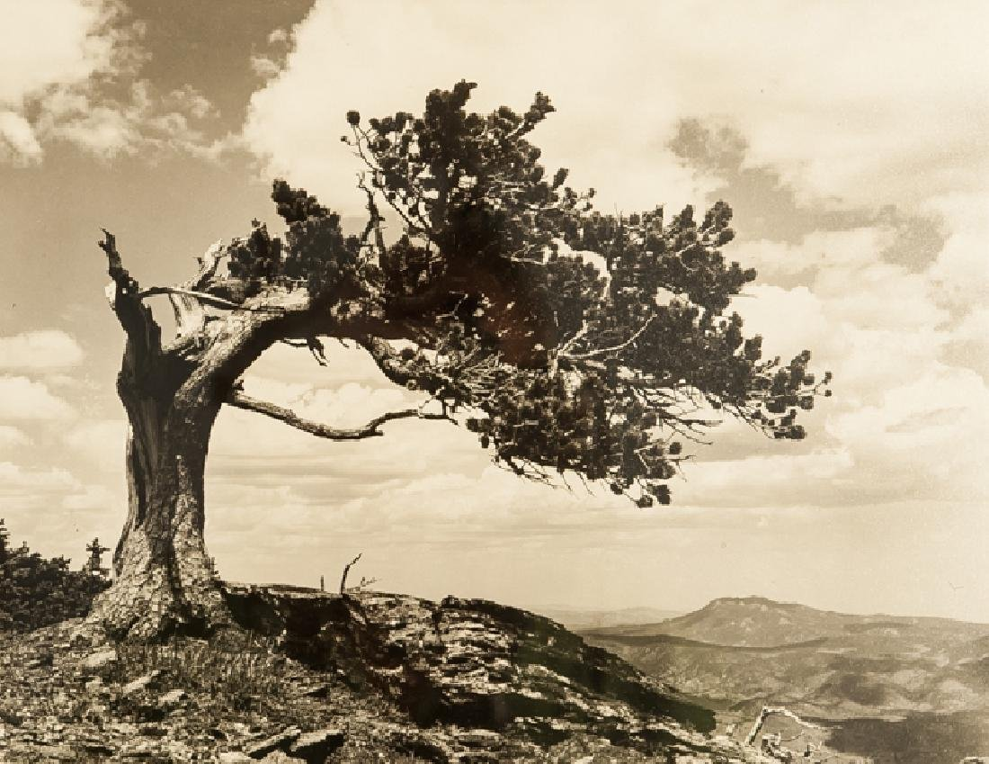 Jeffrey Pine, Photograph