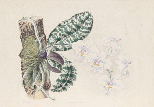 10: Joseph Andrews, Phalaenopsis Schilleriana, Engravin