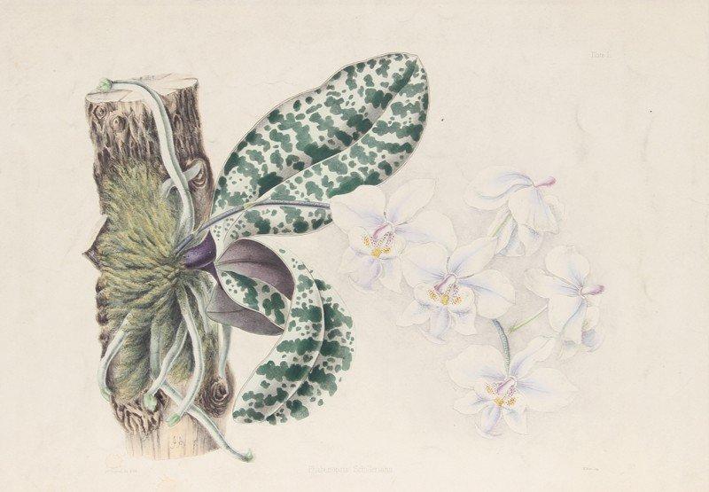 5: Joseph Andrews, Phalaenopsis Schilleriana, Hand-Colo