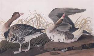 after John James Audubon (1785-1851) American