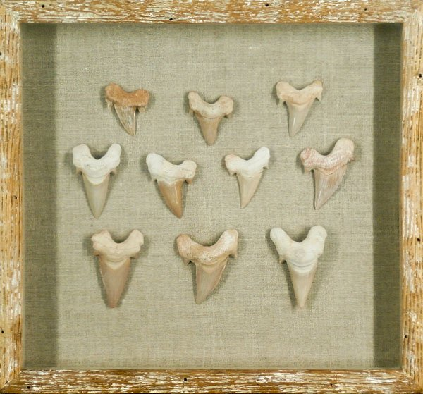 Megladon Shark Tooth collection